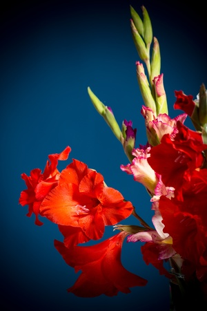 flowering gladioli on a dark blue background photo