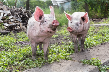 young pig: young pig walking on a farm a summer day Stock Photo