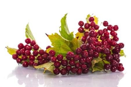 ripe red viburnum on a white background photo