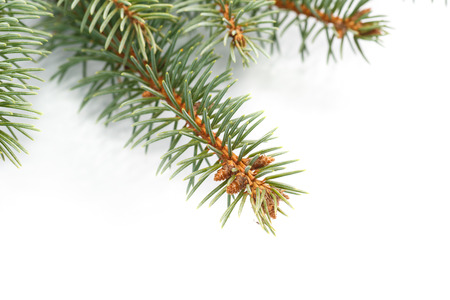 frame made ??of natural fir branch on a white background photo