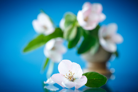 Spring flowering quince tree on a blue background photo