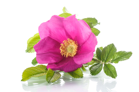 flower blooming wild rose on a white background Stock Photo