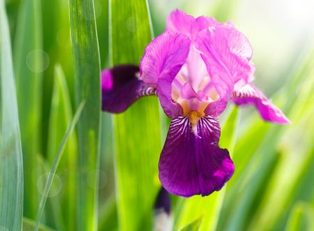 iris qui fleurit au soleil sur une journée d'été Banque d'images