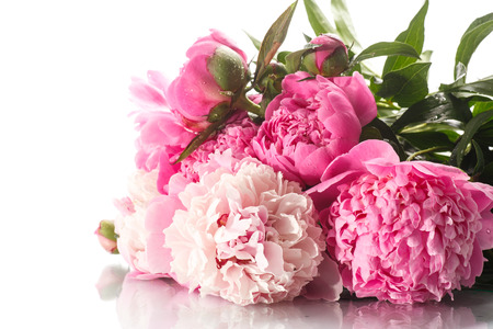 beautiful blooming peonies on a white background