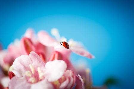ladybug on pink beautiful flowers on blue background photo