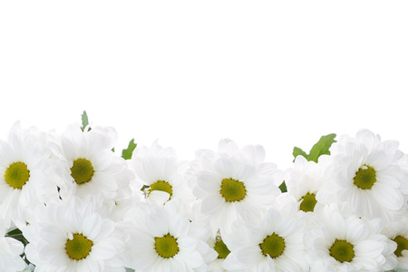 blooming white chrysanthemums on a white  photo