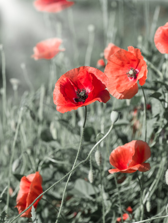 blooming field of red poppies in the field Stock Photo