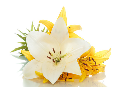 lillies: beautiful blooming lily on a white background