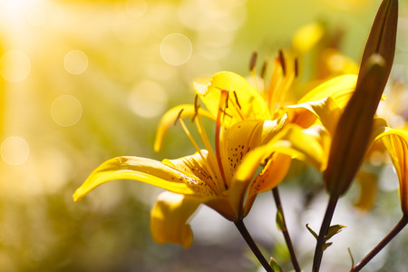 yellow blooming lilies on a sunny day outdoors photo
