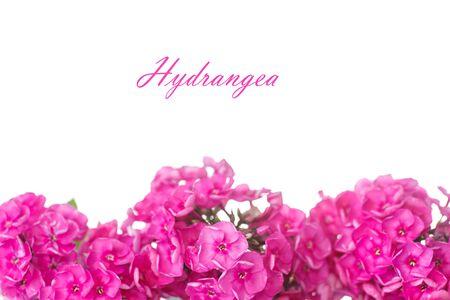beautiful pink hydrangea blossoms on white background photo