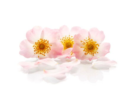 bouquet of wild roses on a white background Stock Photo