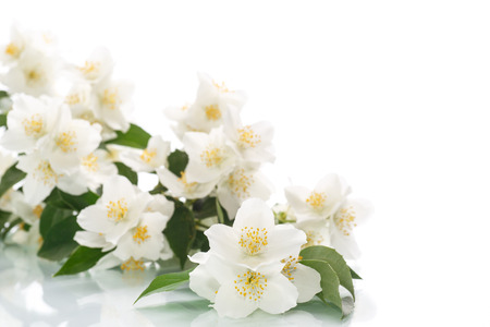 fresh flowers: jasmine white flower isolated on white background