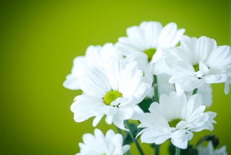 緑の背景に菊の美しい白い花