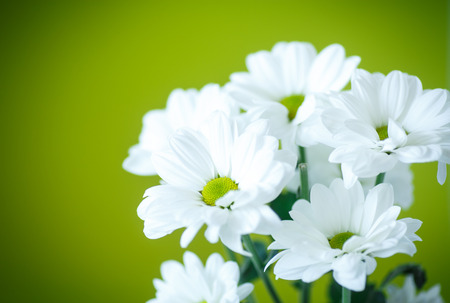 beautiful white flowers of chrysanthemum on green background Standard-Bild
