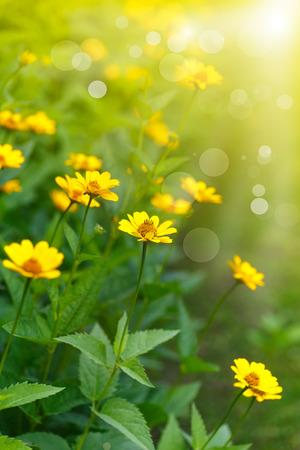 campo de flores: margarita amarilla en el sol en un d�a de verano
