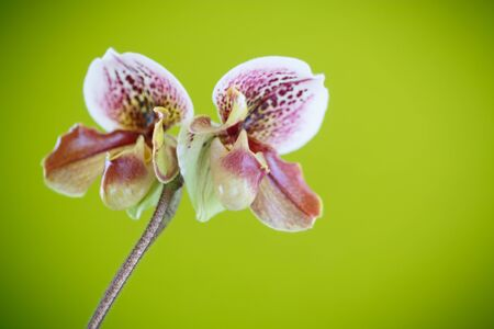 ladys: ladys slipper orchid on green background