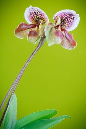 callosum: ladys slipper orchid on green background