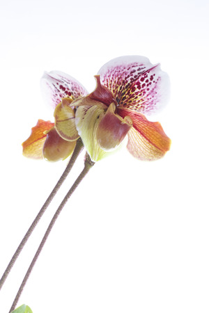 ladys: ladys slipper orchid on a white background