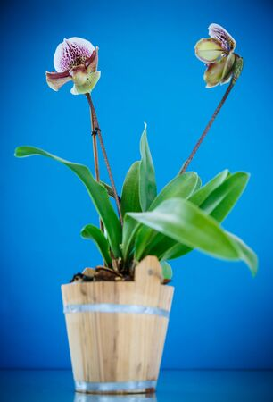 lady's slipper: ladys slipper orchid on a blue background