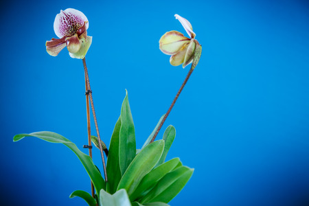 ladys: ladys slipper orchid on a blue background