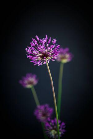 onion flowers: Allium beautiful flower on a black background
