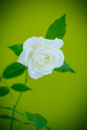 beautiful rose: white beautiful rose on a green background