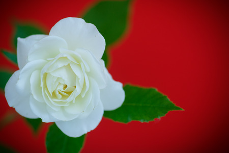 beautiful rose: white beautiful rose on a red background
