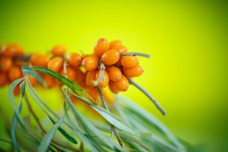 argousier: branche avec m�rs argousier sur un fond vert