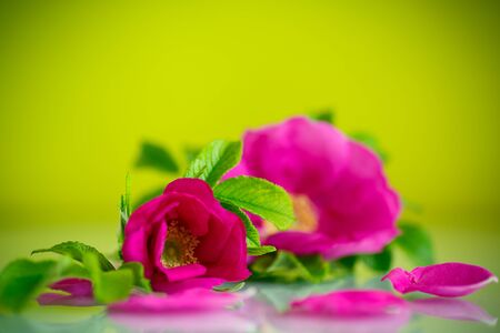 briar bush: flower blooming wild rose on a green background Stock Photo