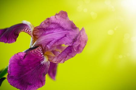 purple irises: beautiful white with purple irises on a green background
