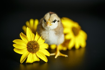 cute little chicken on a black background Stock Photo