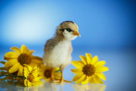 ładny mały kurczak na niebieskim tle
