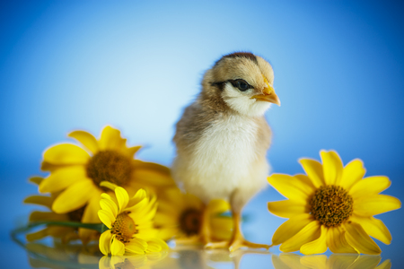 cute little chicken on a blue background Stock Photo