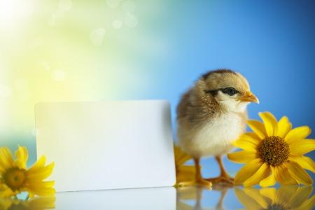 cute little chicken on a blue background Zdjęcie Seryjne