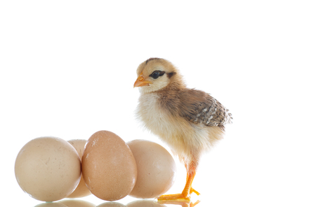 pretty cute chick with eggs on a white background