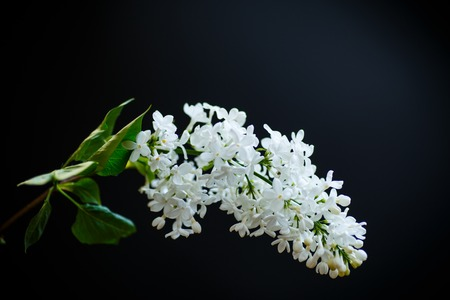 A branch of lilac on a black background Imagens