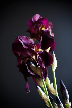 Flower purple iris Stock Photo