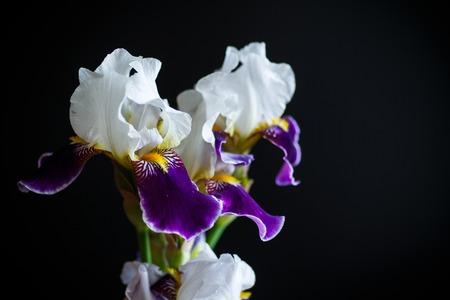 Iris flower white with purple petals