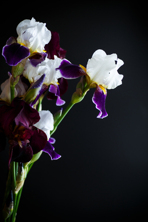 Iris flower white with purple petals on a black background Stock Photo