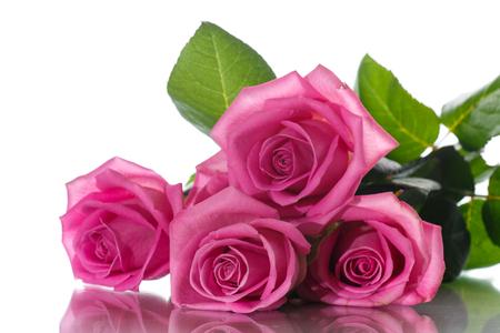 Beautiful pink rose Stockfoto