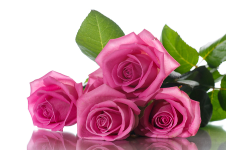 Beautiful pink rose Standard-Bild