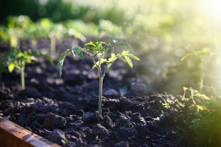 gruwth seedling tomato