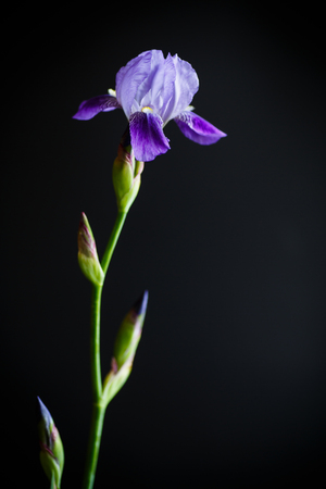 Iris flower blue with purple petals on a black background