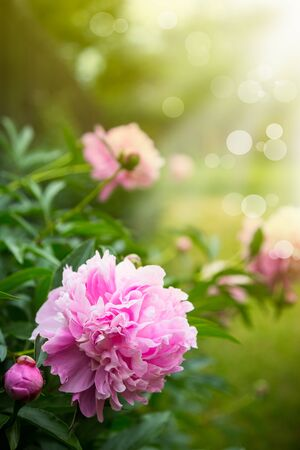 beautiful pink peony on a sunny day