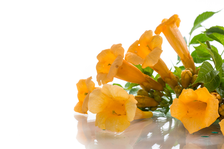 yellow blossoming flowers campsis on a white background