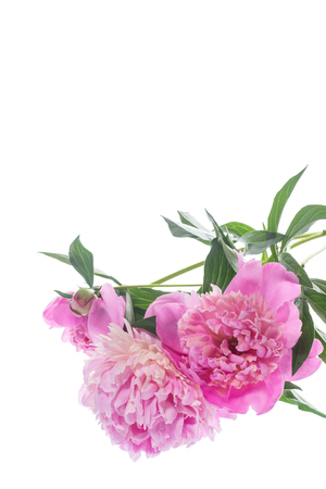 bouquet of blooming peonies isolated on white background