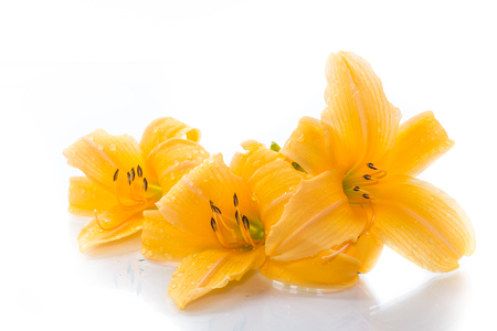 Yellow Lily flowers and buds on a white background