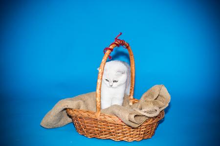 Beautiful young cat, breed Scottish chinchilla straight