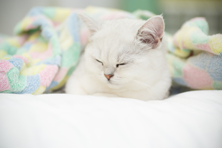 Beautiful cat breed Scottish straight chinchilla sleeping Stock Photo
