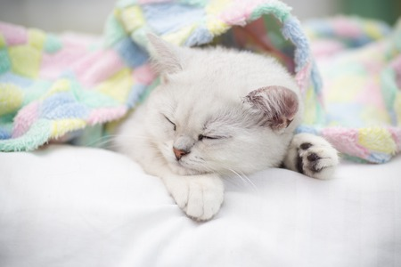 Beautiful cat breed Scottish straight chinchilla sleeping on the bed. 写真素材